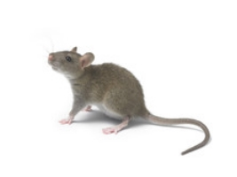 Ratten & Mäuse